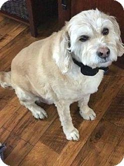 Wheaten Terrier Mix Dog for adoption in Scottsdale, Arizona - Courtesy post-Cooper