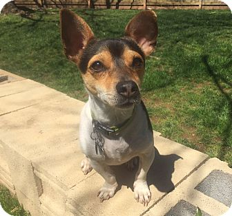 Jack Russell Terrier Mix Dog for adoption in Huntsville, Alabama - Ruthie