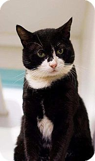 Domestic Shorthair Cat for adoption in Cherry Hill, New Jersey - Tony