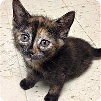 Adopt A Pet :: Tigerlily - River Edge, NJ