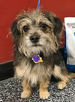 Yorkie, Yorkshire Terrier Mix Dog for adoption in Fremont, California - Kaipo D4169