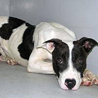Adopt A Pet :: Jinx - Ruidoso, NM