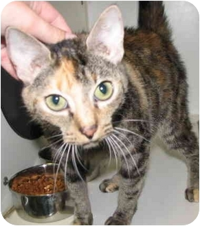 Calico Cat for adoption in Peachtree City, Georgia - Pam