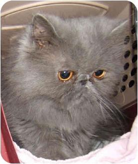 Persian Kitten for adoption in Dallas, Texas - Chelsea
