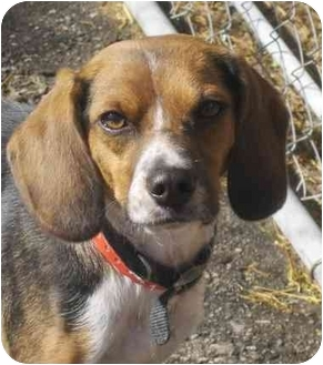 Terrier (Unknown Type, Small)/Beagle Mix Dog for adoption in Toronto/Etobicoke/GTA, Ontario - Suzy