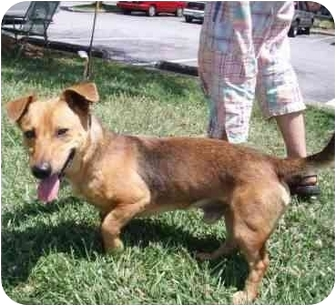 Dachshund Mix Dog for adoption in North Wilkesboro, North Carolina - happy