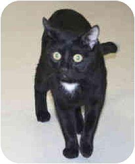 Domestic Shorthair Cat for adoption in Milwaukee, Wisconsin - Teddy Bear