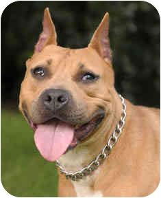 American Staffordshire Terrier Dog for adoption in Chicago, Illinois - Corona