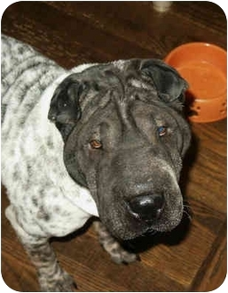 Shar Pei Dog for adoption in Barnegat Light, New Jersey - Haley