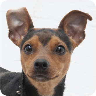 Miniature Pinscher Mix Dog for adoption in Westfield, New York - Malachi