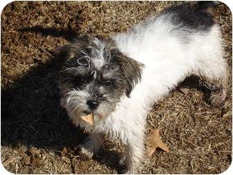 Schnauzer (Miniature) Mix Dog for adoption in Astoria, New York - Tobi