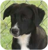Labrador Retriever Mix Puppy for adoption in Portland, Maine - Marshall