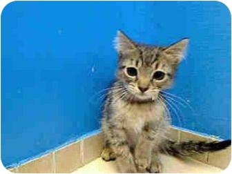 Domestic Longhair Kitten for adoption in Randolph, Vermont - Selene