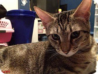 Domestic Shorthair Cat for adoption in Encino, California - HONEY