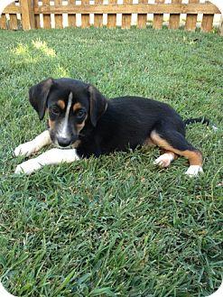 Beagle Mix Puppy for adoption in ST LOUIS, Missouri - Pokey