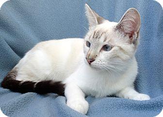 Siamese Kitten for adoption in La Jolla, California - Star