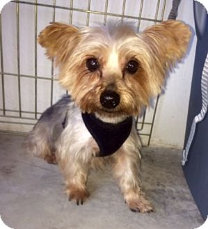 Yorkie, Yorkshire Terrier Dog for adoption in Naples, Florida - Goldie