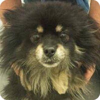 Pomeranian Mix Dog for adoption in Gilbert, Arizona - April