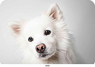 American Eskimo Dog Mix Dog for adoption in New York, New York - Roger