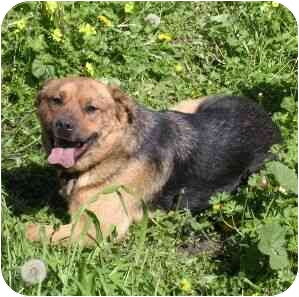 Shepherd (Unknown Type)/Chow Chow Mix Dog for adoption in Berkeley, California - Ruby