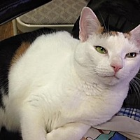 Adopt A Pet :: Rosie the lovely lap cat! - Brooklyn, NY