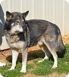 Siberian Husky Mix Dog for adoption in Clay, Alabama - Heston