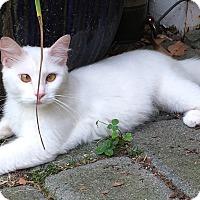 Adopt A Pet :: Snowball - Warwick, NY