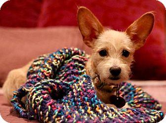Border Terrier Mix Dog for adoption in Litchfield Park, Arizona - Lady