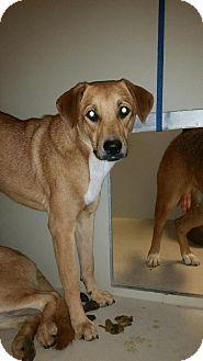 Boxer/Labrador Retriever Mix Dog for adoption in Westminster, California - Nadia