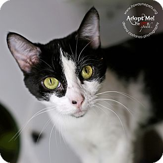Domestic Shorthair Cat for adoption in Lyons, New York - Beatrix