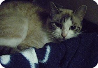 Siamese Cat for adoption in Hamburg, New York - Melanie