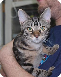Domestic Shorthair Kitten for adoption in Brooklyn, New York - Psipsina