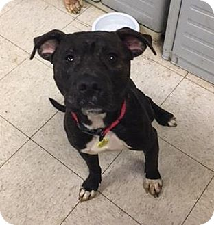 Terrier (Unknown Type, Medium)/American Pit Bull Terrier Mix Dog for adoption in Fulton, Missouri - Axle- Ohio