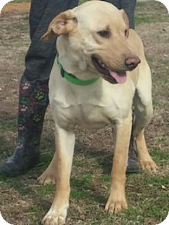 Labrador Retriever Mix Dog for adoption in Union City, Tennessee - Enzo