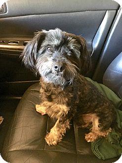 Silky Terrier/Schnauzer (Standard) Mix Dog for adoption in McKinney, Texas - Kobe