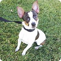Rat Terrier Dog for adoption in Modesto, California - Bellatrix
