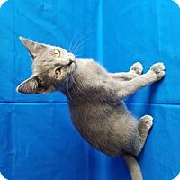 Adopt A Pet :: Porsha - Las Vegas, NV