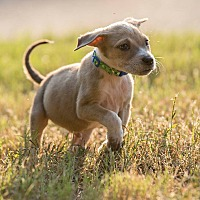 Adopt A Pet :: FALCOR - Fort Worth, TX