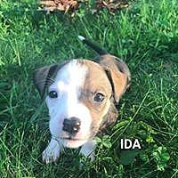 Adopt A Pet :: Ida - Hartford, CT