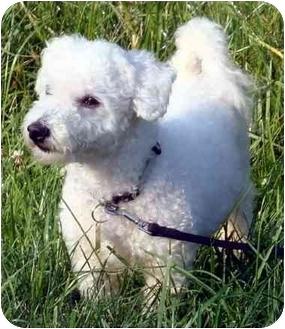 Poodle (Miniature)/Maltese Mix Dog for adoption in Overland Park, Kansas - Linus