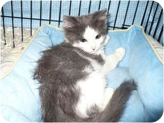 Domestic Longhair Kitten for adoption in Colmar, Pennsylvania - Bella