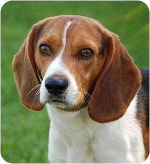 Beagle Dog for adoption in Mora, Minnesota - Andy