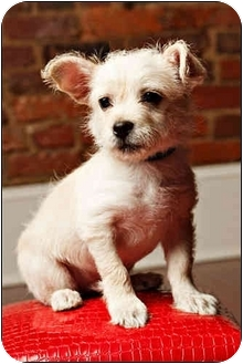 Terrier (Unknown Type, Small)/Chihuahua Mix Puppy for adoption in Owensboro, Kentucky - Curtis