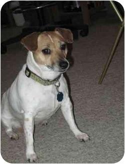 Jack Russell Terrier Dog for adoption in Omaha, Nebraska - Little Bit