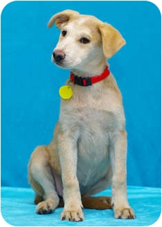 Labrador Retriever/Shepherd (Unknown Type) Mix Puppy for adoption in Westminster, Colorado - SODAPOP