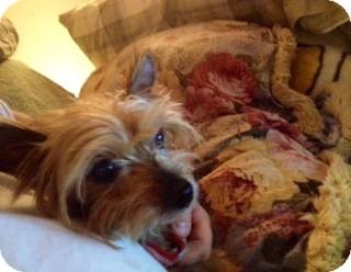 Yorkie, Yorkshire Terrier Dog for adoption in ST LOUIS, Missouri - Chance