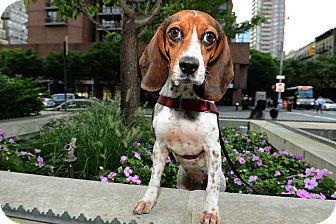 Beagle Dog for adoption in New York, New York - Emma