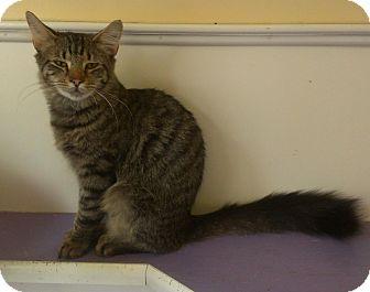 Domestic Shorthair Cat for adoption in Richboro, Pennsylvania - Johnny Depp