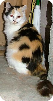 Calico Cat for adoption in Chattanooga, Tennessee - Chessie