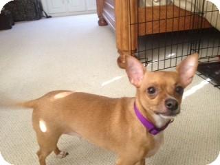 Chihuahua Dog for adoption in Greensboro, Georgia - Buddy